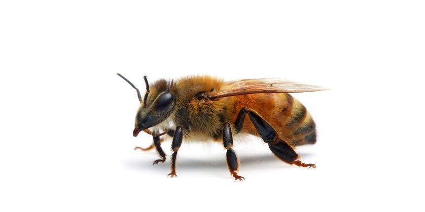 Bee Types